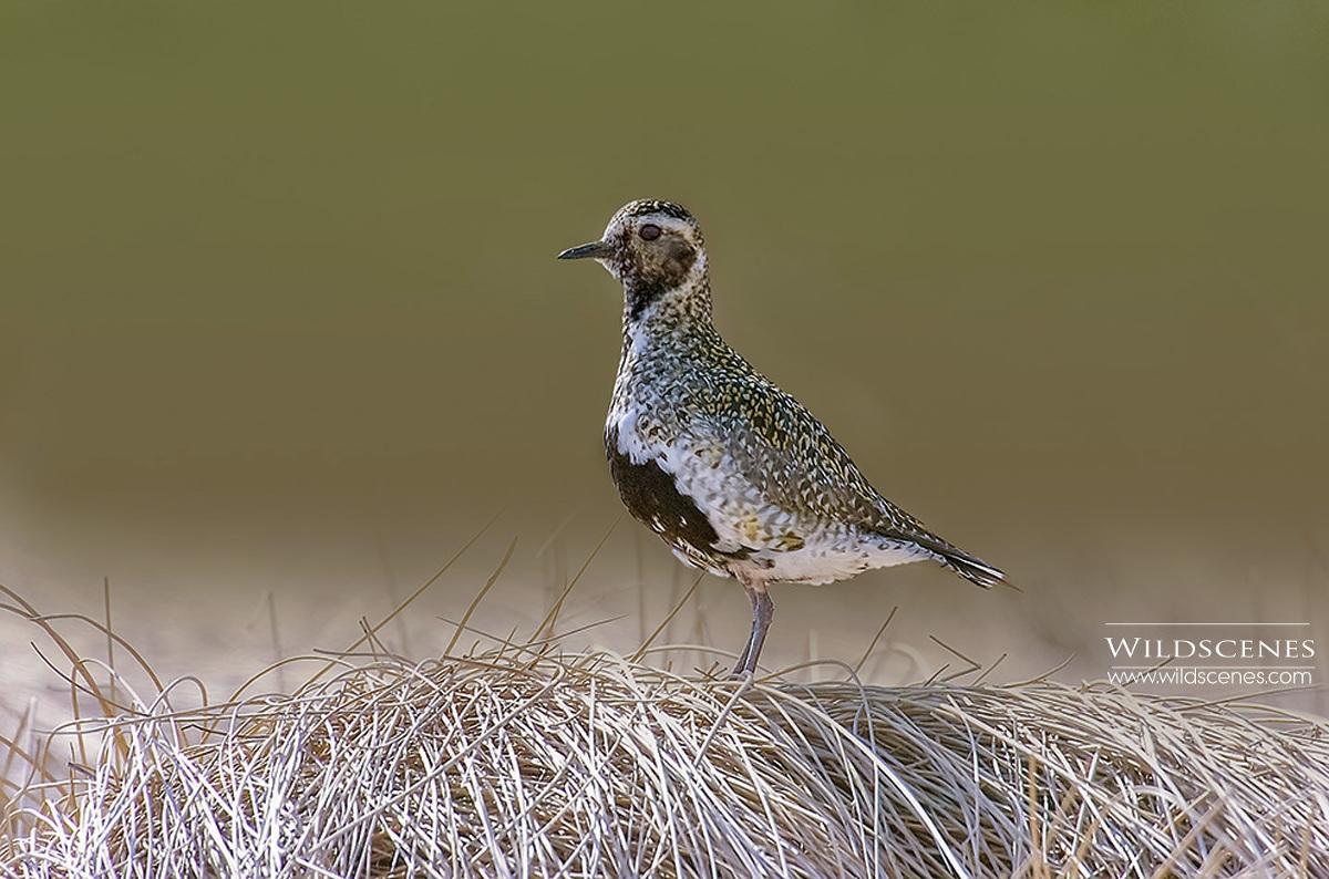 moorland birding golden plover
