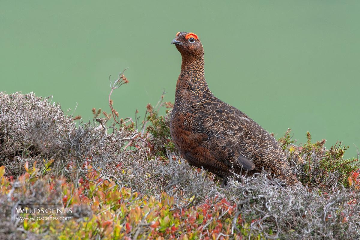 moorland birding : Red Grouse