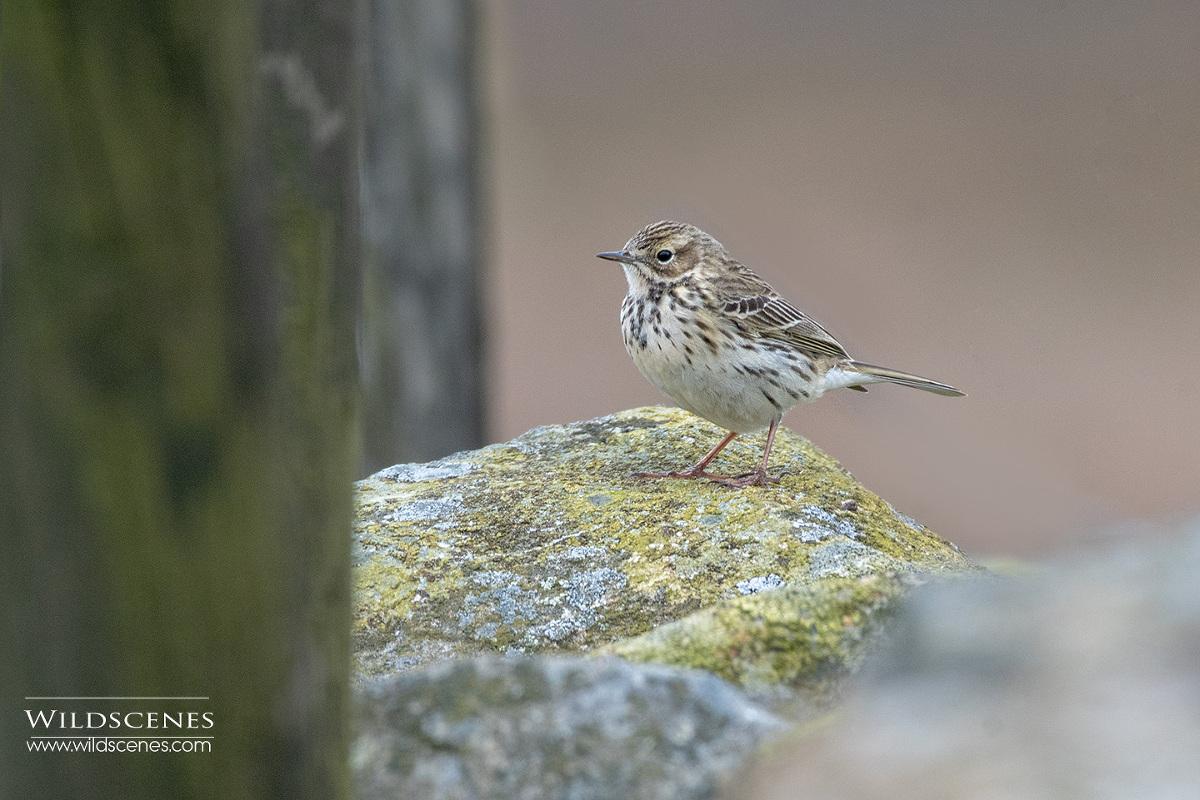 moorland birding : meadow pipit