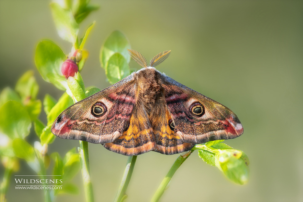 emperor moth on the North York Moors