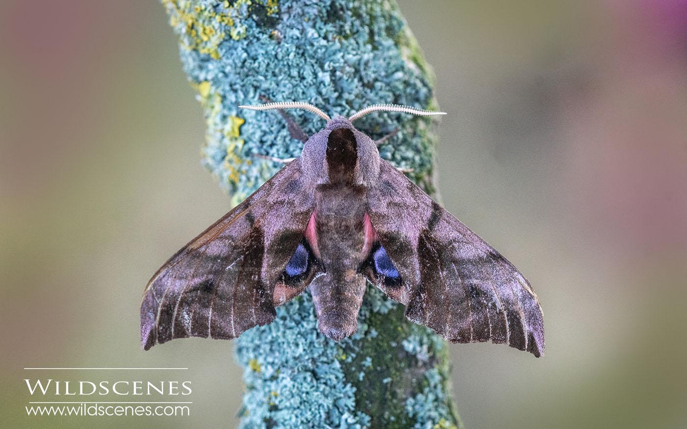 eyed hawk moth (Smerinthus ocellata)