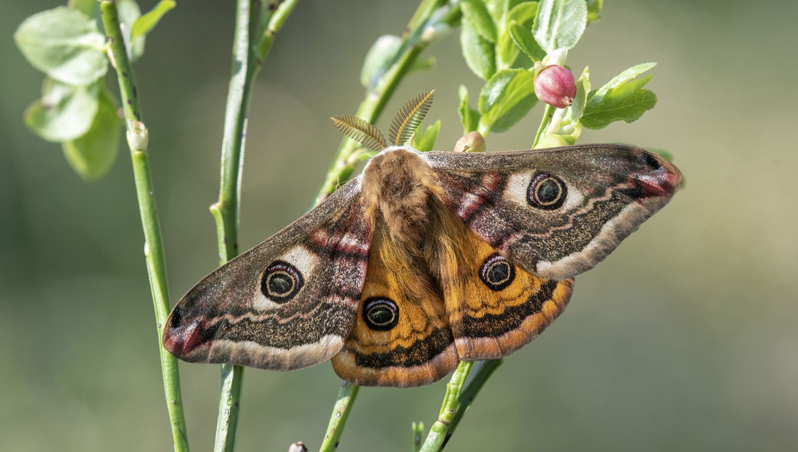 emperor moth by Yorkshire wildlife photographer John Gardner