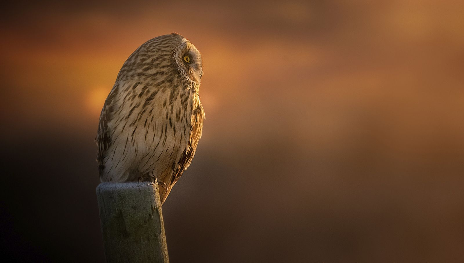 short-eared owl by Yorkshire wildlife photographer John Gardner