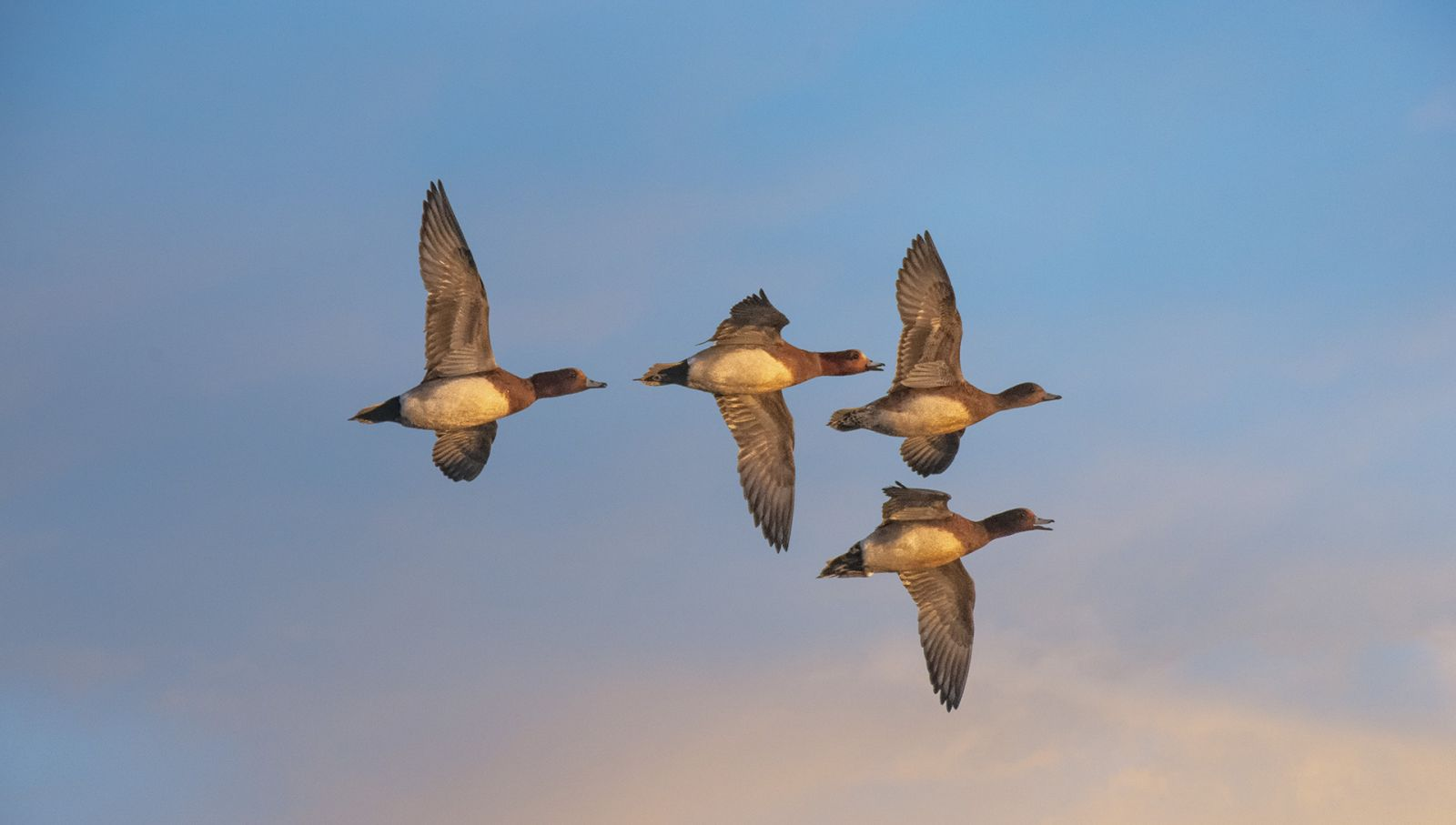 wigeon by Yorkshire wildlife photographer John Gardner