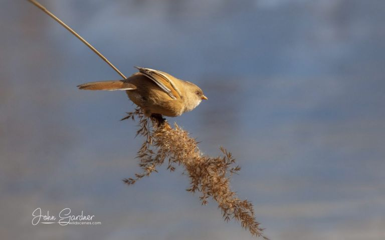 a female bearded tit on reed