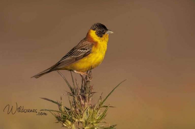 black-headed bunting, Lesvos. By Yorkshire wildlife photographer John Gardner