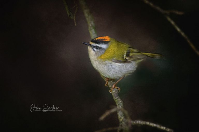firecrest by Yorkshire wildlife and landscape photographer John Gardner