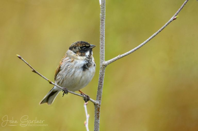 reed bunting immature male by Yorkshire wildlife photographer
