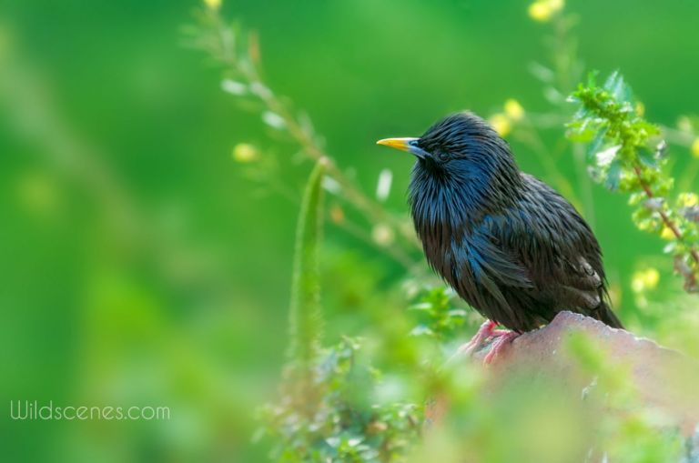 spotless starling, Spain | Yorkshire wildlife photographer