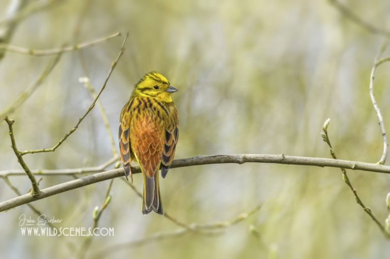 yellowhammer, yellow bunting, Yorkshire wildlife photographer